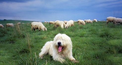 Polish  Lowland Sheepdog from Bing